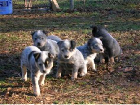 blue heeler puppies for sale in iowa australian cattle puppies in