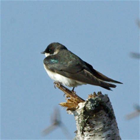 birds of iowa hirundinidae