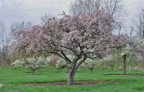 Types Of Garden Fungus - growing crabapple trees how to care for a crabapple tree