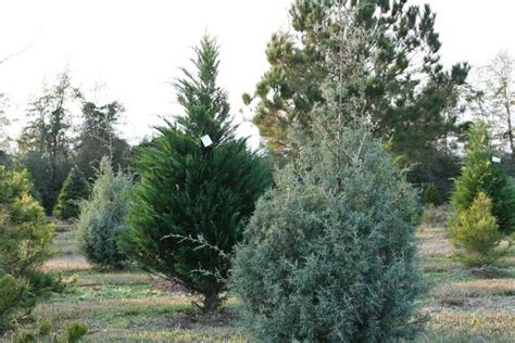 local christmas tree farms cut your own local tree farm northescambia