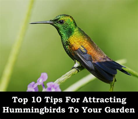 top 28 why are hummingbirds attracted to attract