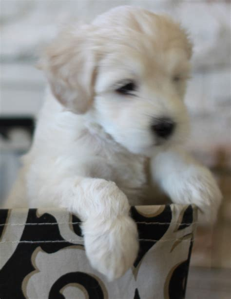 doodle pet rescue goldendoodle rescue dogs for adoption
