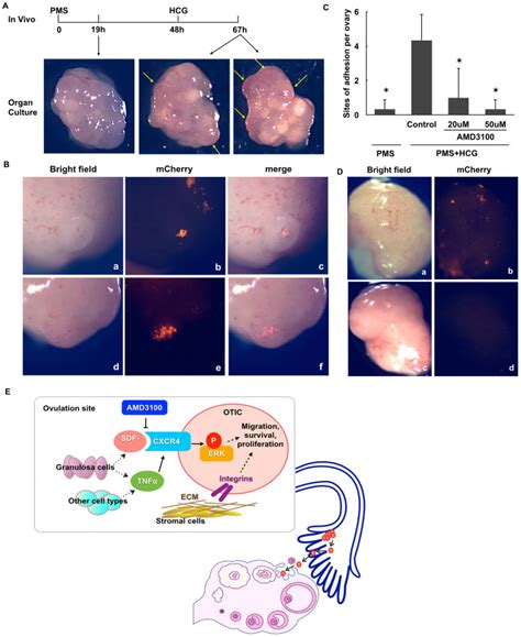 chemical induction of ovarian epithelial carcinoma in mice user z5019282 embryology