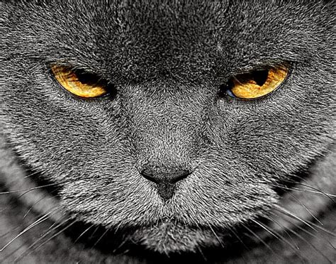 wallpaper angry cat angry cats wallpapers wallpapers background