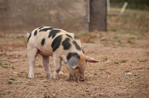 heat ls for pigs 1000 images about gloucestershire old spot on pinterest