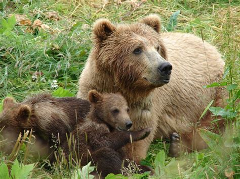 bear s all about animal wildlife grizzly bear images photos and