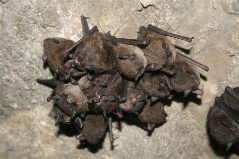 bat facts fiction atlanta georgia bat control