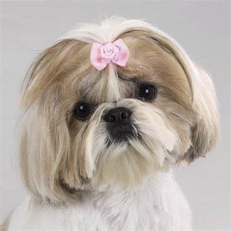 shih tzu bows 255 best images about grooming shih tzu havanes on