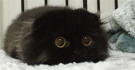 meet gimo  cat   biggest eyes  bored panda