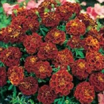 Benih Bunga Marigold T1310 3 benih marigold cherry 3 biji non retail