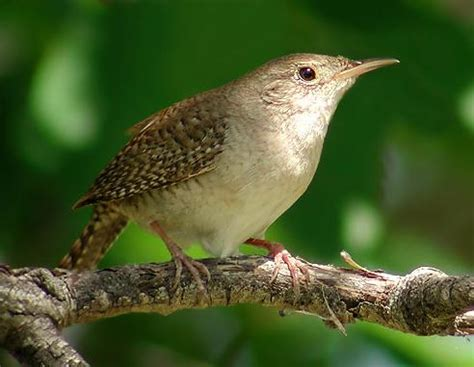 house wren song journey north signs of spring