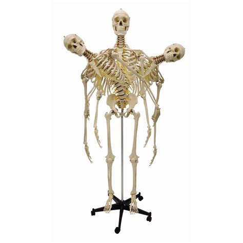 a skeleton model skeleton human size sports supports