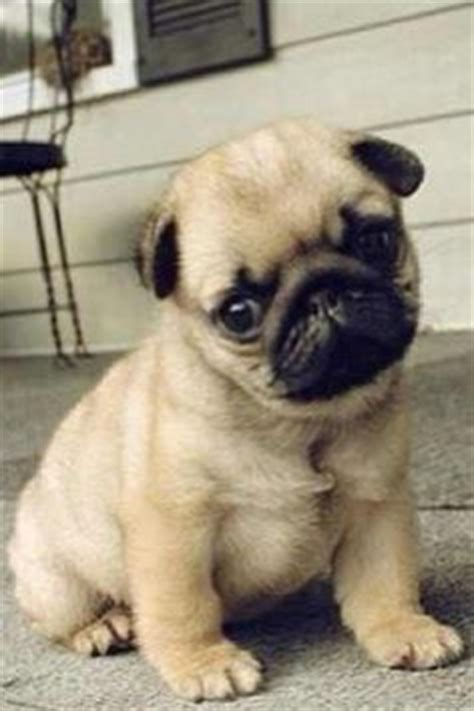 i need a pug teacup pug i need one of these they are so