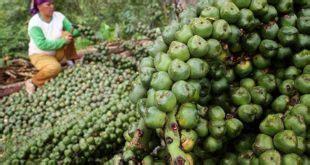 Sukses Budi Daya Vanili budidaya jagung manis organik sederhana hasil melimpah