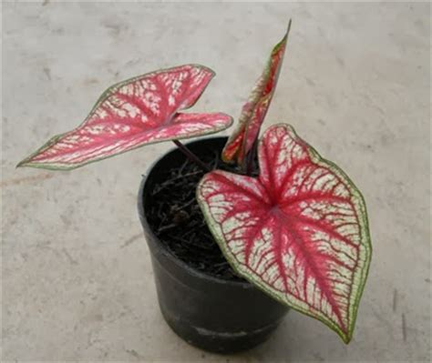 Pupuk Untuk Bunga Anthurium tanaman hias kuping gajah anthurium crystallinum