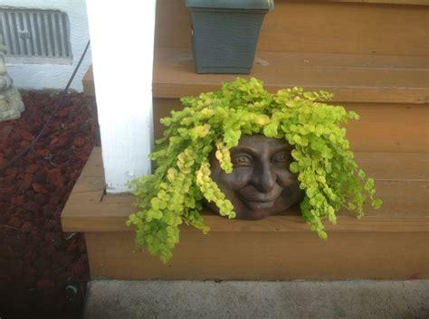 creeping jenny plant   face planter   cost