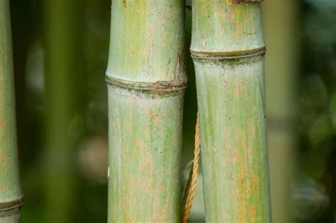 bambus winter bambus im winter 187 so k 246 nnen sie ihren bambus sch 252 tzen