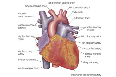 cardiac diagram anatomy of the diagram view