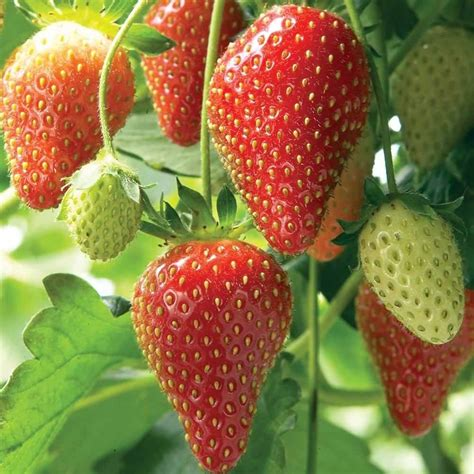 strawberry seeds fragaria ananassa bright red fruit has great flavor 100 seeds ebay