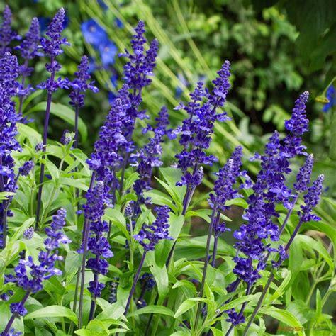 sauge bleue pot 216 17 cm autres marques jardinerie