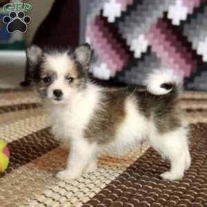 yorkie puppies for sale in nj 300 yorkie pom puppies for sale in de md ny nj philly dc and baltimore