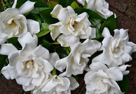 fiori di gardenia gardenia pianta piante da interno conoscere la gardenia