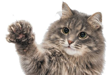 In The Claws Of The Cat denver outlaws declawing cats catster