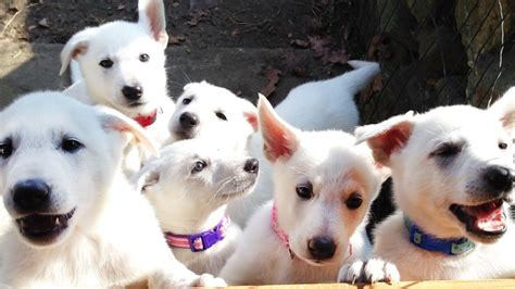all white german shepherd puppies barking white german shepherd puppies