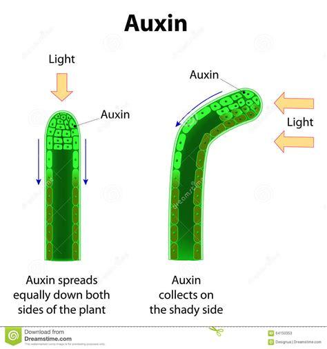 Hormon Auxin auxins stock vector illustration of green cycle hormones 64150353