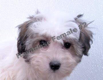caney fork bichon and havanese caney fork bichon havanese