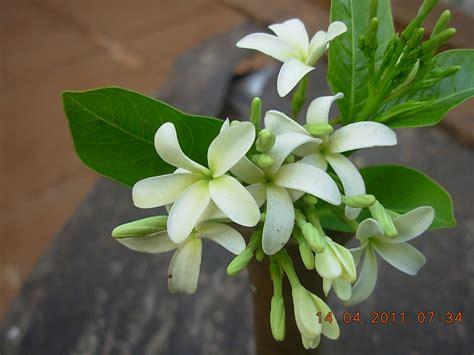 In House Plants holarrhena antidysenterica kop s nursery