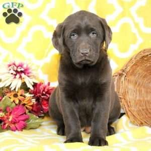 chocolate lab puppies for sale in pa chocolate lab puppies for sale in pa