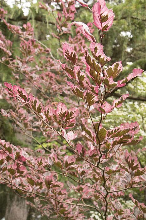 tri colored beech tricolor european beech monrovia tricolor european beech