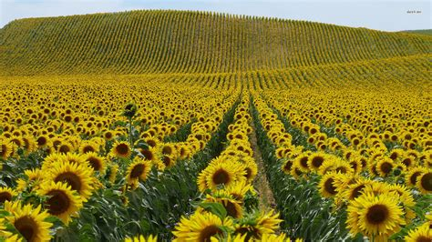 sunflower field sunflower field wallpaper 1920x1080 78434