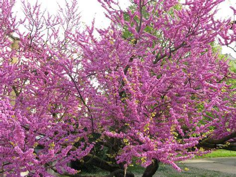 fiori albero di giuda parco cardeto ancona residence casale conero