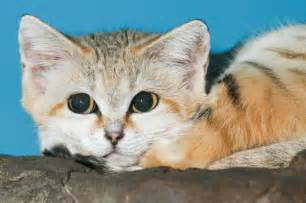 Sand cats cutest cats