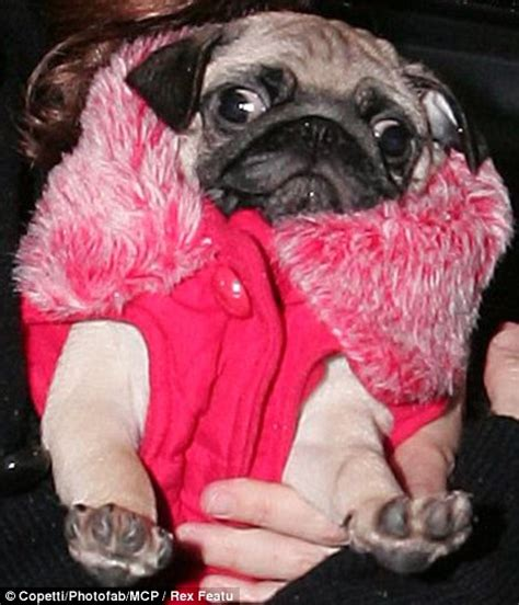clothes for pugs uk snug as a pug the canine fashion season has begun and one breed the pavement