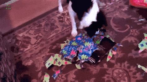 gifs  animals opening presents guinea pig    guff