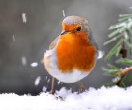 european robin this one s got a fantastic deep orange