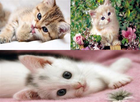 Kaos Kaki Hewan Peliharaan Anjing Kucing Lucu 1 achmad yusril ihzamahendra fakta unik kucing yang belum kalian ketahui