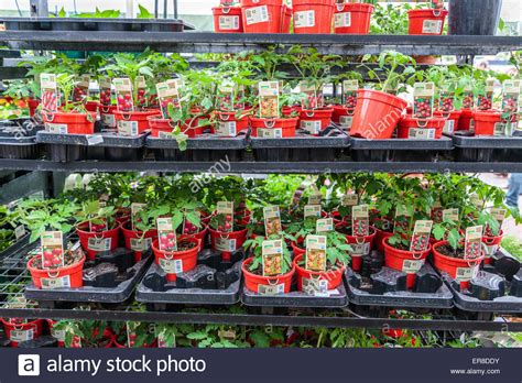 tomato plants   homebase garden centre stock photo
