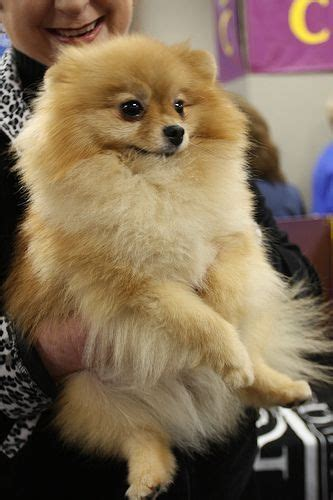 wanted pomeranian puppy puppy pomeranian wanted tamworth staffordshire pets4homes