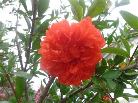 fiore melograno fiore di melograno dedicato al poeta giosue carducci
