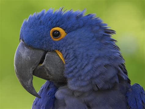 flying animal hyacinth macaw