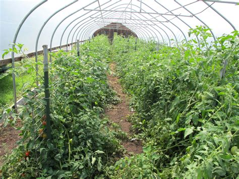 Best Trellis tomato cages stakes or trellises which is best for supporting heirloom tomatoes