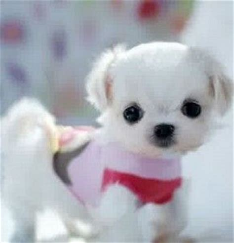 teacup puppies for sale in pa teacup maltese puppies for sale and puppys on
