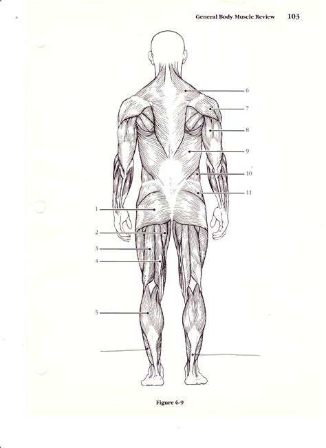 muscle anatomy labeling exercises human anatomy body