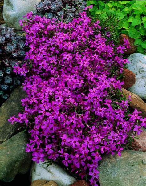 steingarten pflanzenauswahl pflanzen f 252 r steingarten immergr 252 n gartens max