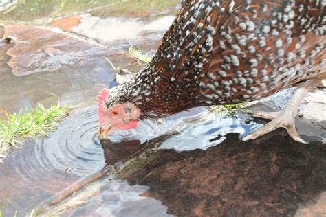 backyard chickens in winter water in the winter backyard chickens community
