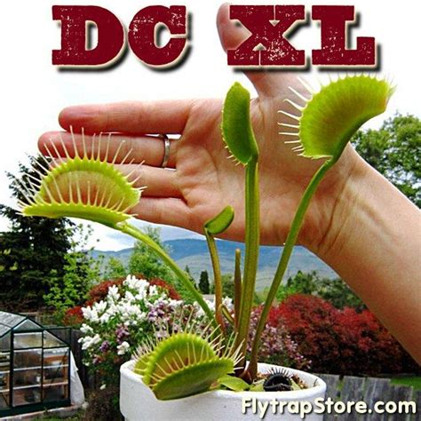 biggest online plants store venus fly traps for sale at flytrapstore